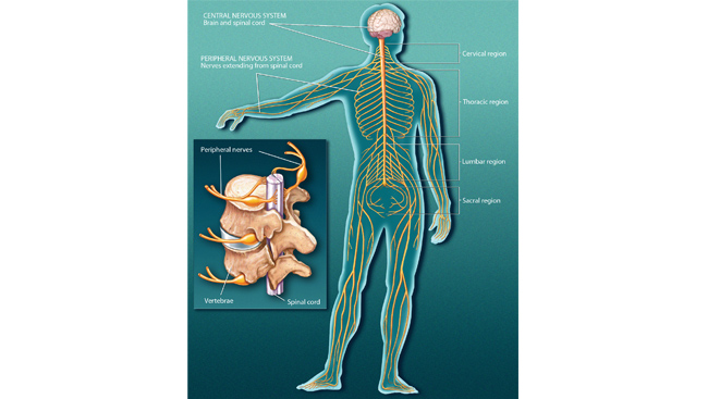 Parts of the nervous system ccuart Choice Image