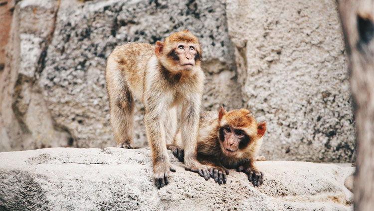 Two monkeys sitting together on a stone wall.