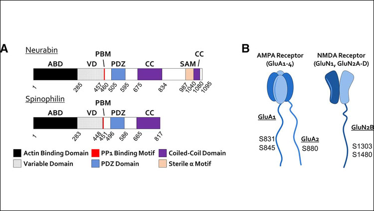 Structure of synaptic PP1 scaffolding proteins neurabin and spinophilin, and their potential dephosphorylation sites on AMPAR and NMDAR. A, Domain structures of neurabin and spinophilin. B, Topology as well as potential dephosphorylation sites of neurabin/PP1 holoenzymes on AMPAR and NMDAR.