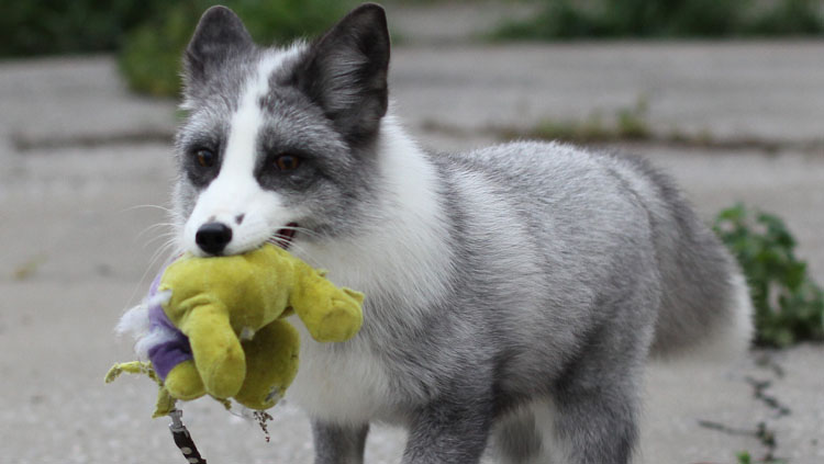 Image of a puppy holding a toy in it's mouth.