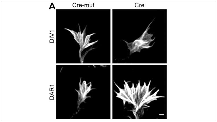 Representative micrographs of phalloidin-stained growth cones from non-replated and replated ADF−/−/Cfl1flx/flx neurons expressing either Cre or Cre-mut.