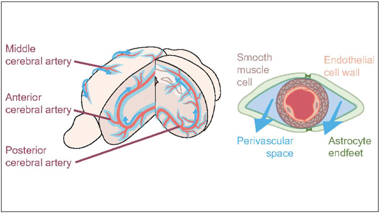 The vascular network is a scaffold for glymphatic fluid transport along the perivascular spaces. Glymphatic fluid (light blue) enters the brain via the perivascular space of the major arteries (red; left). Arteries and veins are lined by perivascular spaces, where astrocyte end feet (green) cover smooth muscle cells (gray) and the endothelial wall of the vasculature (pink; right).