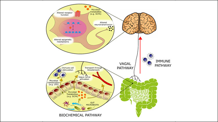 Bioactive molecules originating from microbial metabolism are thought to modulate emotional behavior through several mechanisms:   -   (1) Activation of afferent vagal nerve fibers.   -   (2) Stimulation of the mucosal immune system or of circulatory immune cells after translocation from the gut into the circulation.   -   (3) Absorption into the bloodstream, and biochemical interaction with a number of distal organs. In the brain, such metabolites may be able to activate receptors on neurons or glia, modulate neuronal excitability, and change expression patterns by means of epigenetic mechanisms.